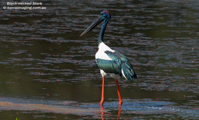 Black-necked Stork male
