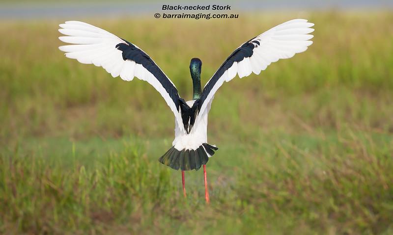 Black-necked Stork male