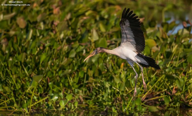 Wood Stork immature