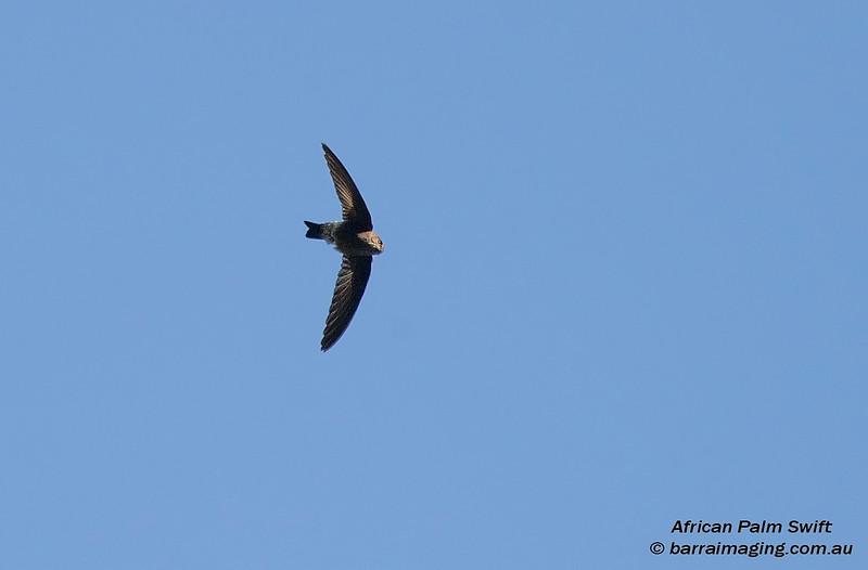 African Palm Swift