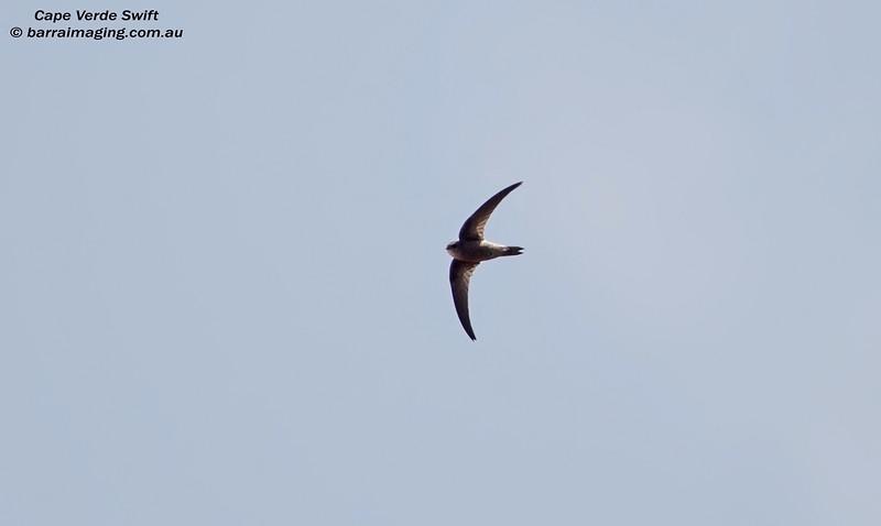 Cape Verde Swift