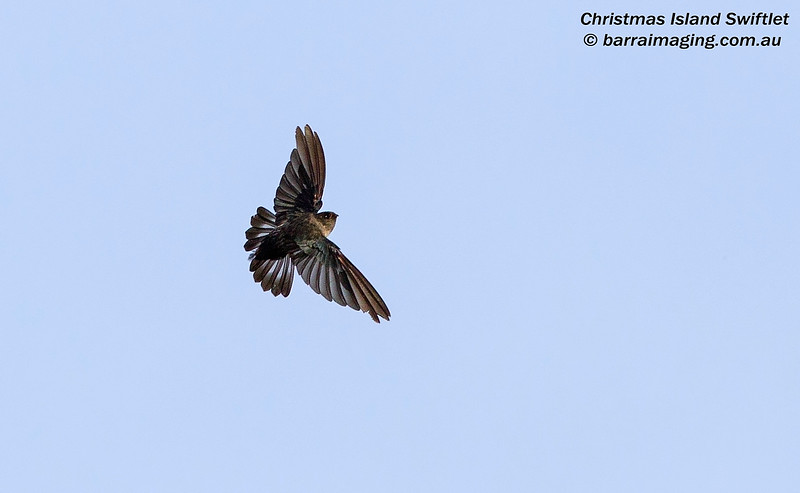 Christmas Island Swiftlet