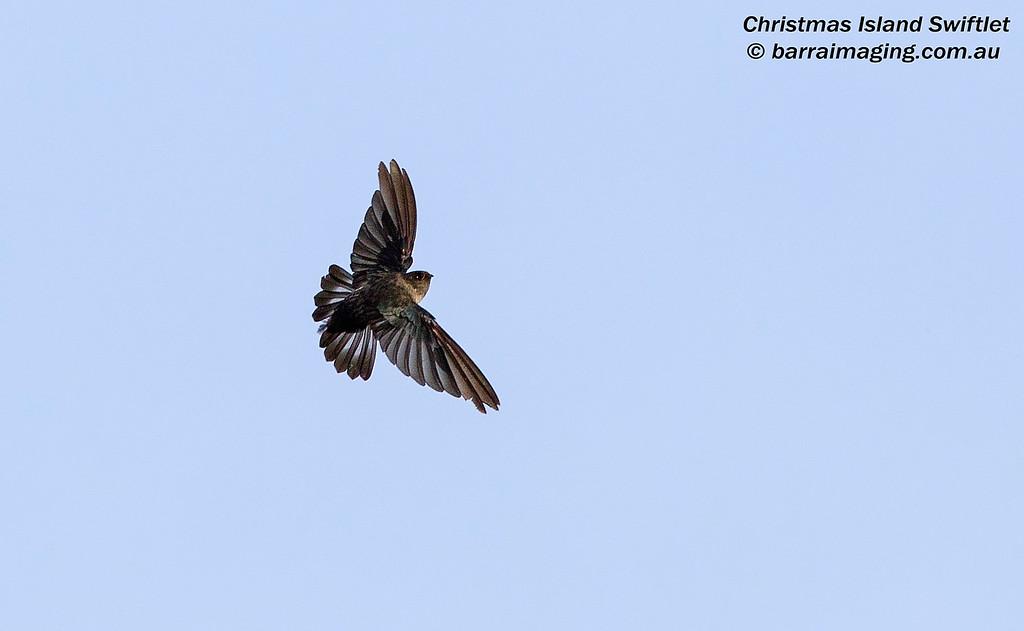Christmas Island Swiftlet