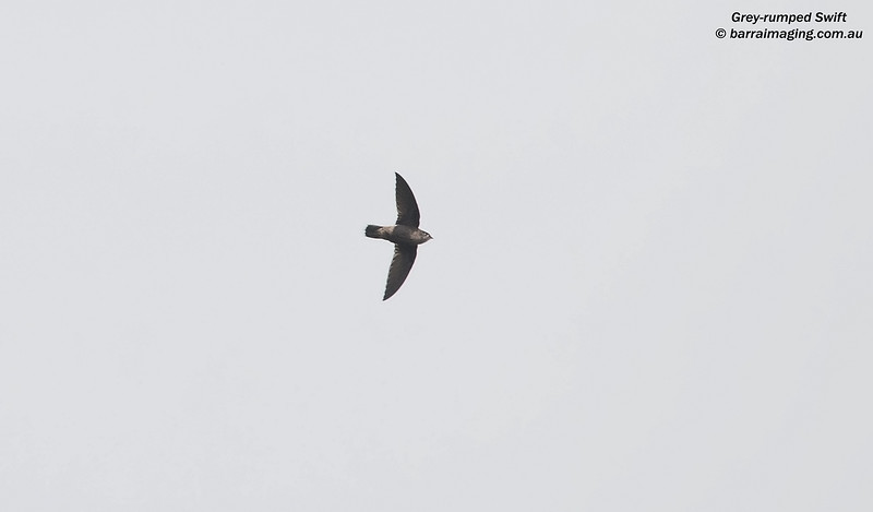 Grey-rumped Swift