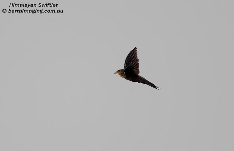 Himalayan Swiftlet