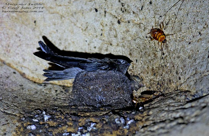 Mossy-nest Swiftlet
