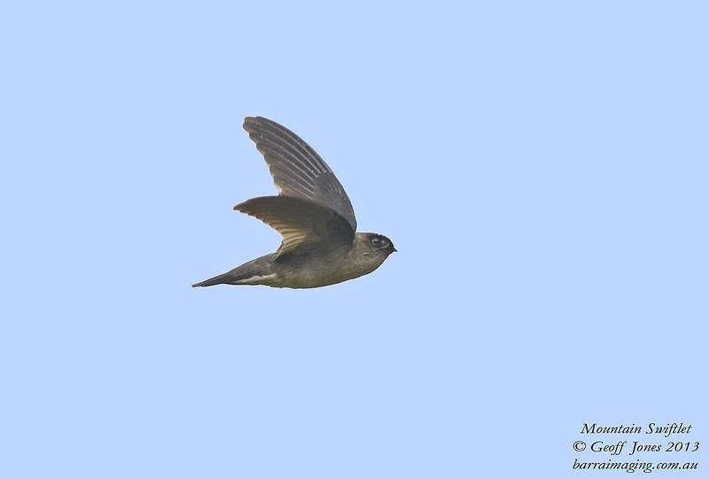 Mountain Swiftlet