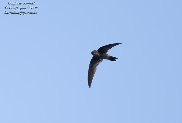 Uniform Swiftlet