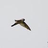 White-rumped Swiftlet Aerodramus spodiopygius Manus Island PNG April 2013 PNG-WRSW-03