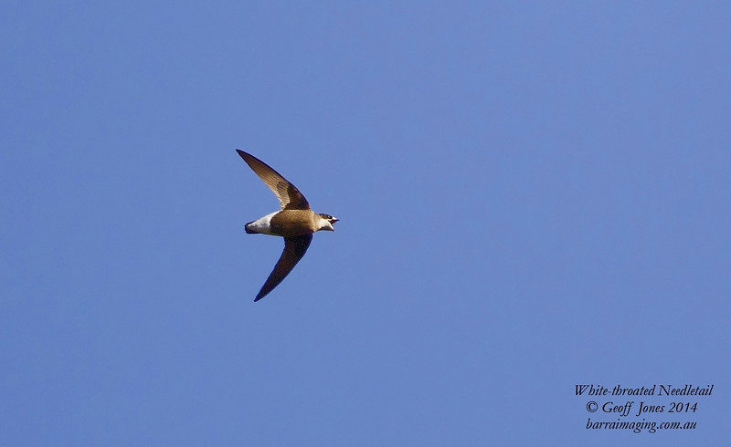 White-throated Needletail
