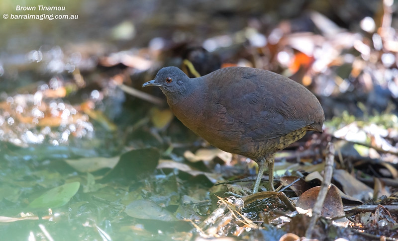 Brown Tinamou