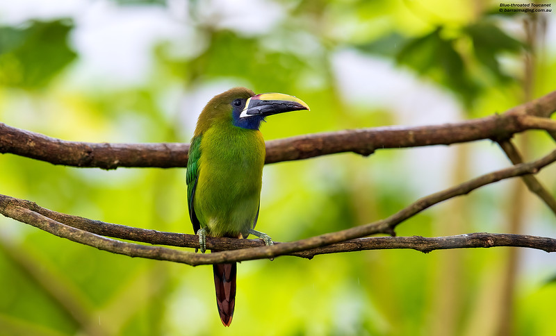 Blue-throated Toucanet