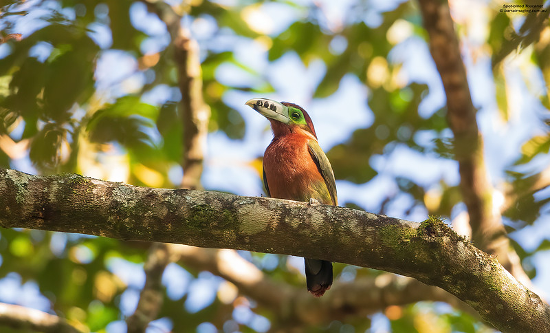 Spot-billed Toucanet female