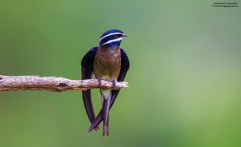 Whiskered Treeswift female