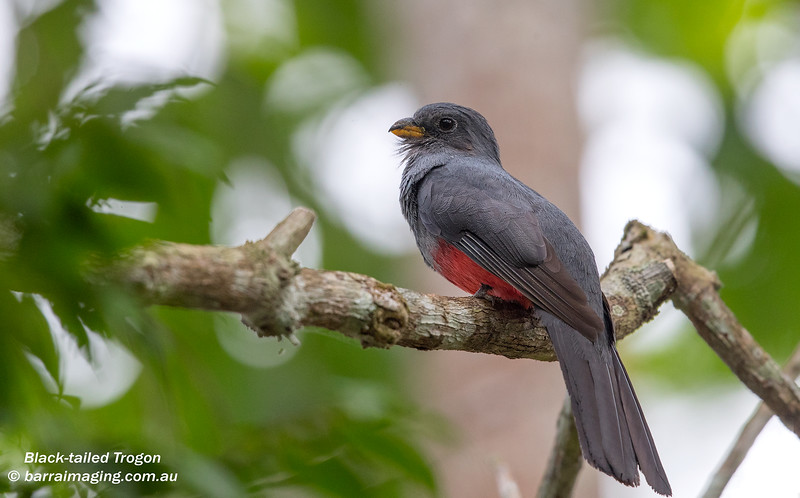 Black-tailed Trogon female