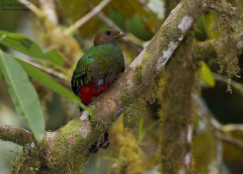 Golden-headed Quetzal female
