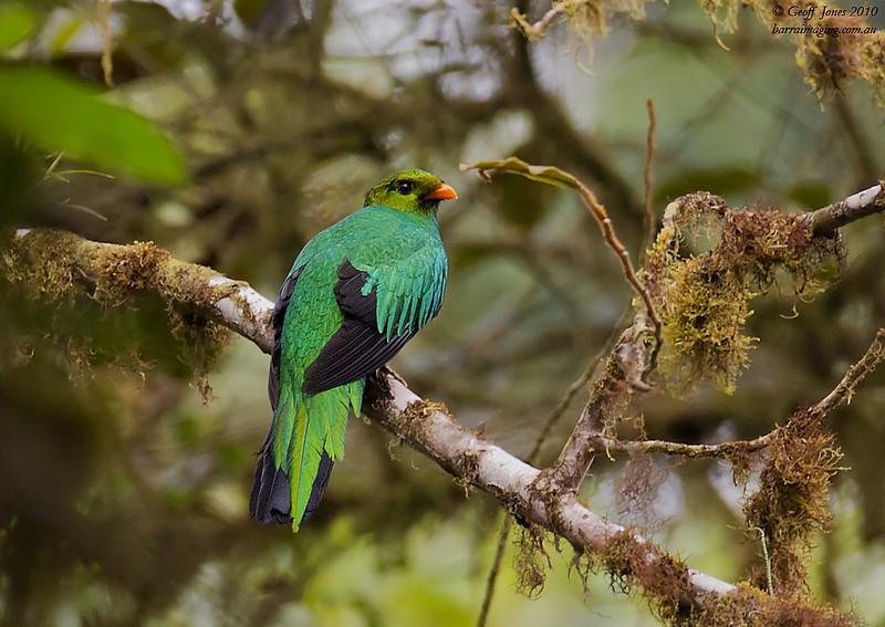 Golden-headed Quetzal male