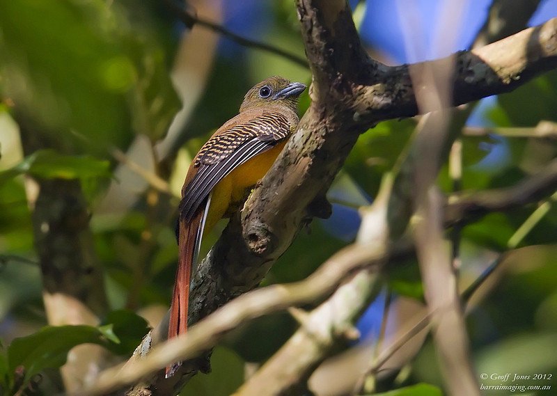 Orange-breasted Trogon female