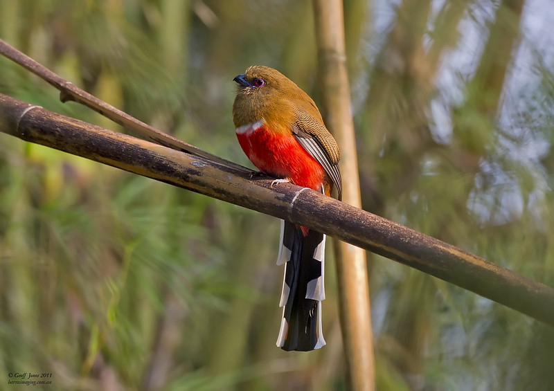 Red-headed Trogon female
