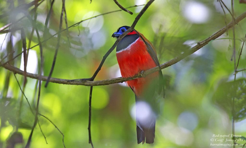 Red-naped Trogon