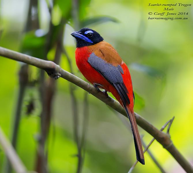 Scarlet-rumped Trogon male