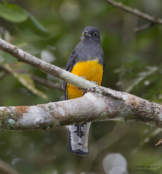 White-tailed Trogon female
