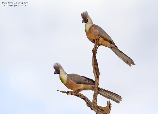 Bare-faced Go-away-bird