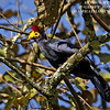 Ross's Turaco