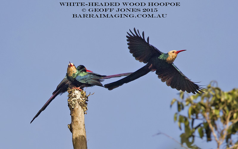 White-headed Wood Hoopoe