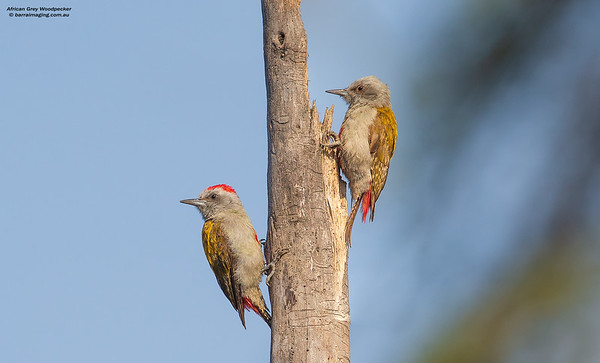 African Grey Woodpecker male & female