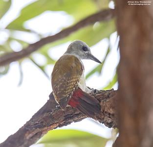 African Grey Woodpecker female