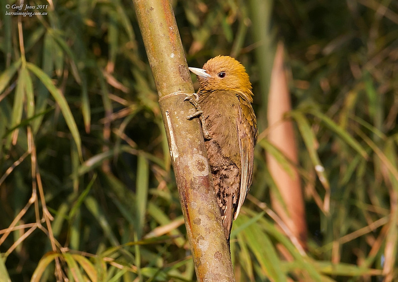 Bamboo Woodpecker
