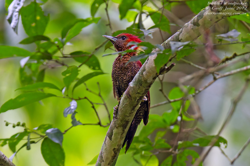 Banded Woodpecker Chrysophlegma miniaceum Kaeng Krachan Thailand May 2012 TH-BAWP-01