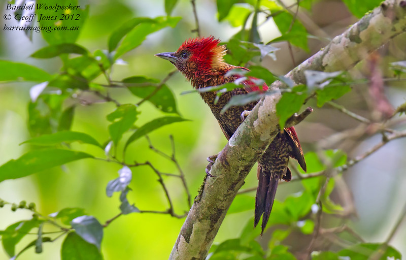 Banded Woodpecker Chrysophlegma miniaceum Kaeng Krachan Thailand May 2012 TH-BAWP-