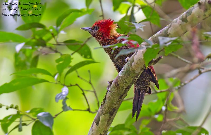 Banded Woodpecker Chrysophlegma miniaceum Kaeng Krachan Thailand May 2012 TH-BAWP-