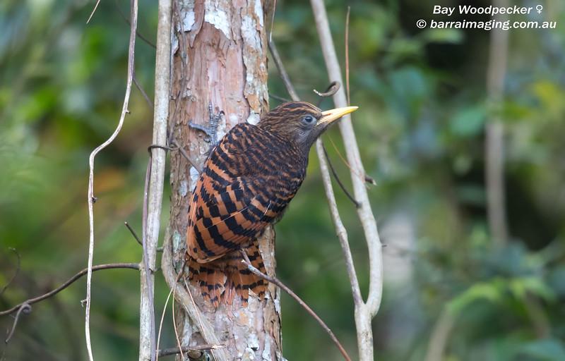 Bay Woodpecker female