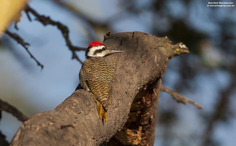 Bearded Woodpecker male
