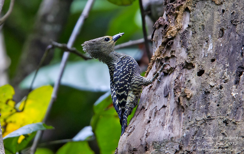 Buff-rumped Woodpecker female