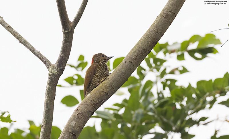 Buff-spotted Woodpecker male