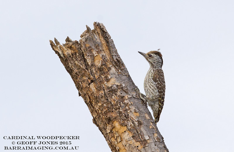 Cardinal Woodpecker female