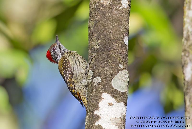 Cardinal Woodpecker male