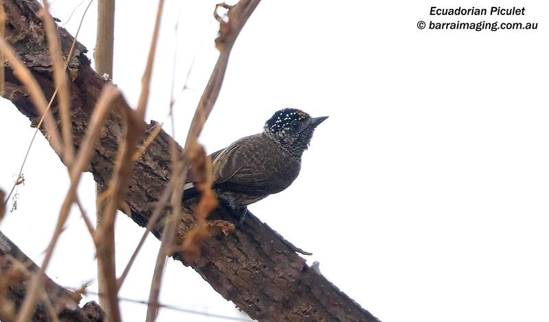 Ecuadorian Piculet male