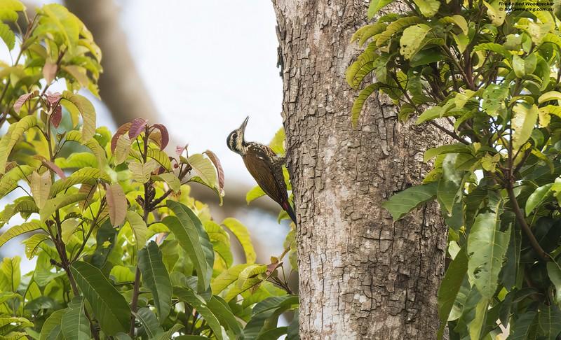Fire-bellied Woodpecker female