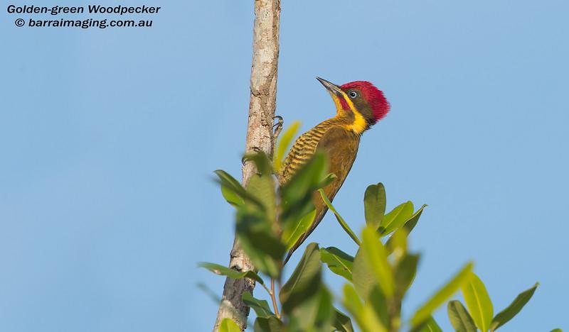 Golden-green Woodpecker male