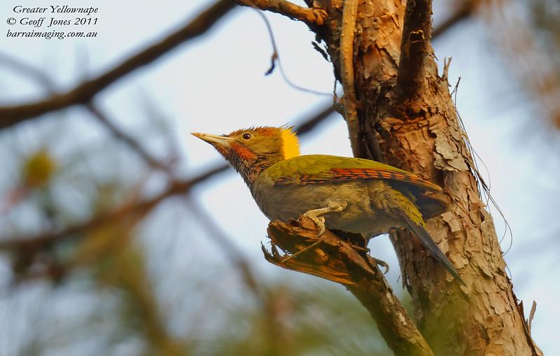 Greater Yellownape Picus flavinucha Nam Nao National Park Thailand Jan 2011 TH-GR