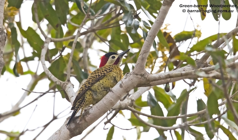 Green-barred Woodpecker male