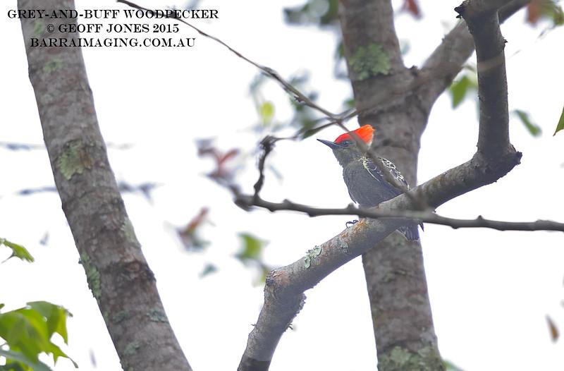Grey-and-buff Woodpecker male