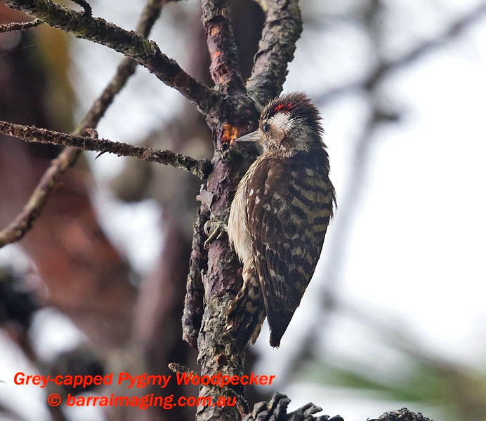 Grey-capped Pygmy Woodpecker