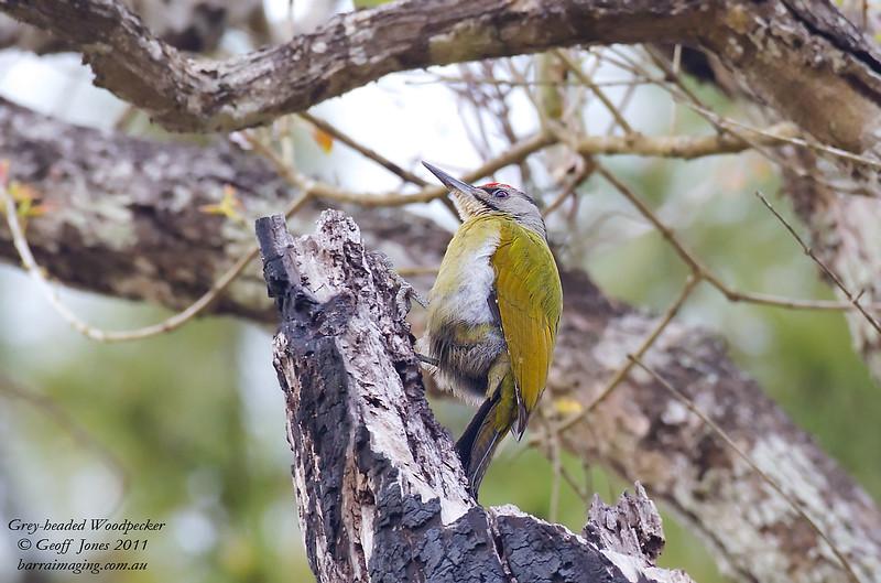 Grey-headed Woodpecker Picus canus Nam Nao National Park Thailand Jan 2011 TH-GH