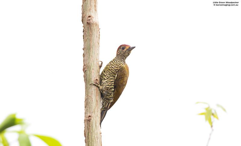 Little Green Woodpecker male